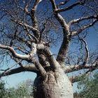 Бутилково дърво