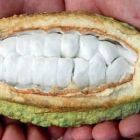 Какаова шушулка