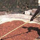 Сушене на какаови зърна