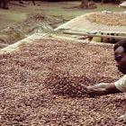 Сушене на какао в Гана