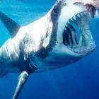 Бяла акула в момент преди да захапе стръвта. Нептуновия остров край Австралия.