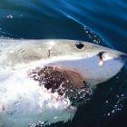 Бяла акула сърфира с отвпрена уста. Индийския океан, крайбрежието на ЮАР.