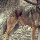 Червен вълк